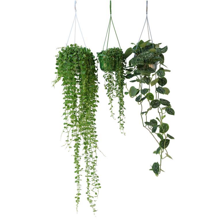 kamerplanten hangplanten mix