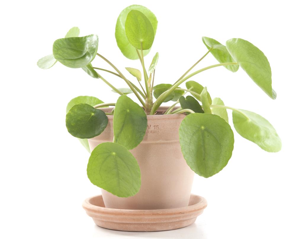 kamerplanten pannenkoekenplant